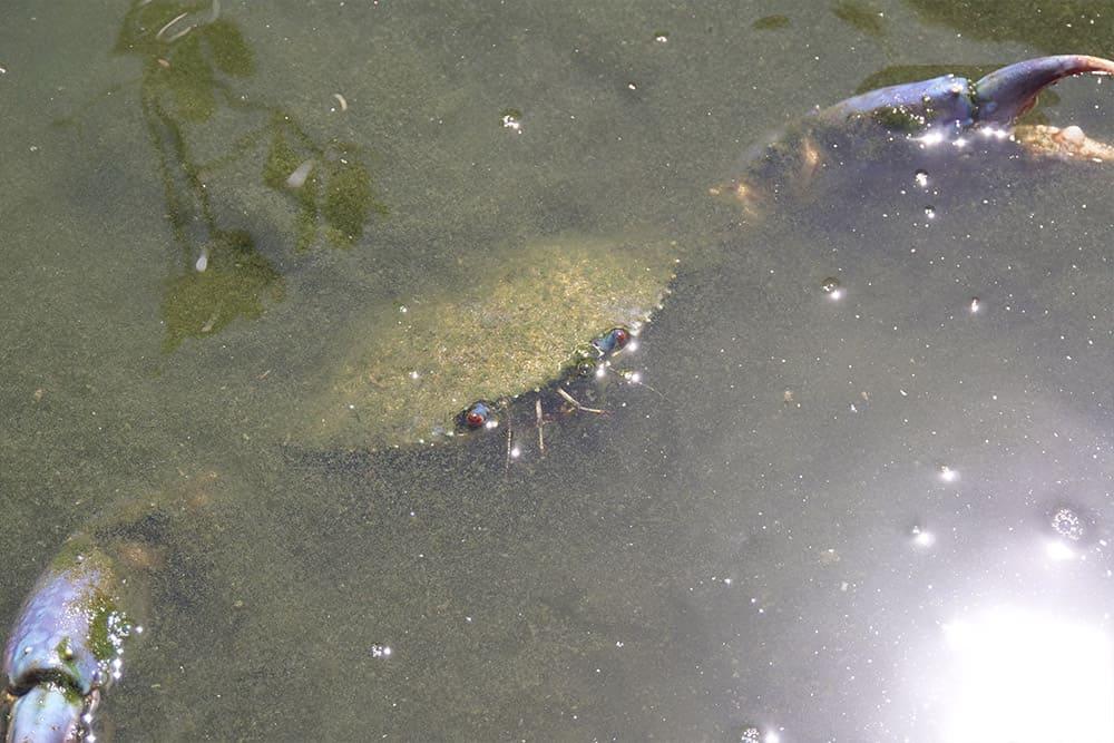 見事に育ったマングローブ蟹
