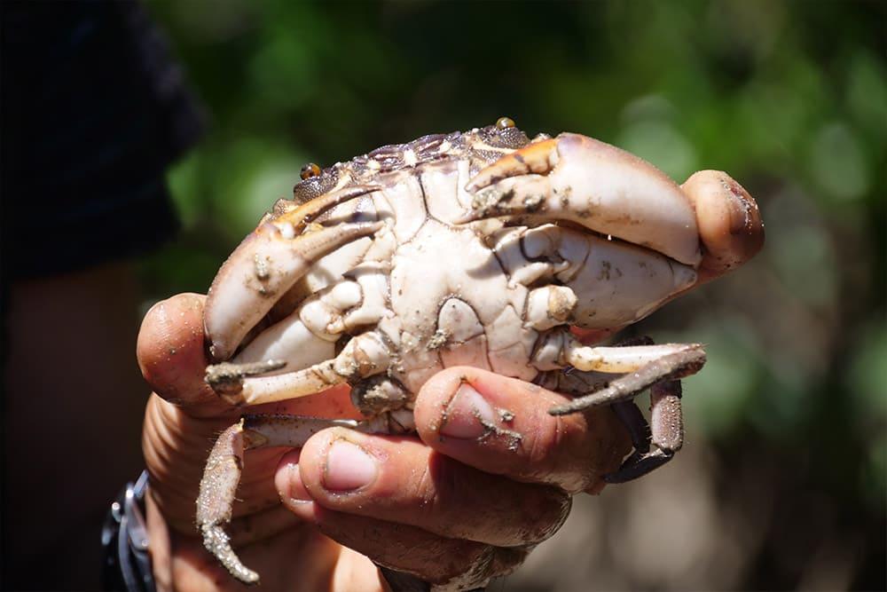 マングローブ蟹について学びます